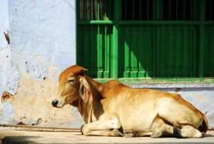 heilige_koe_India